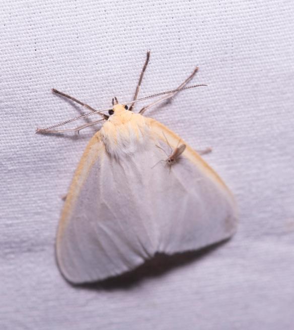 Delicate Cycnia (Cycnia tenera)