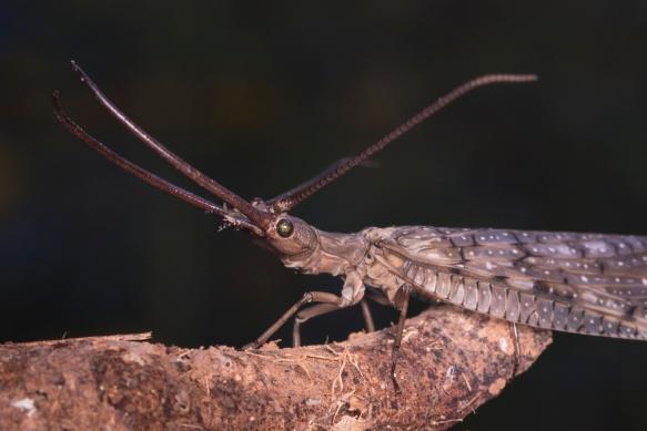 Dobsonfly male head 1