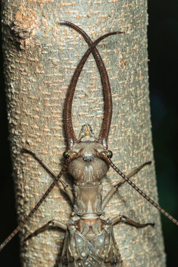 Dobsonfly male head 3