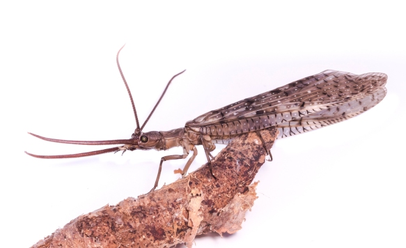 Dobsonfly male on white background