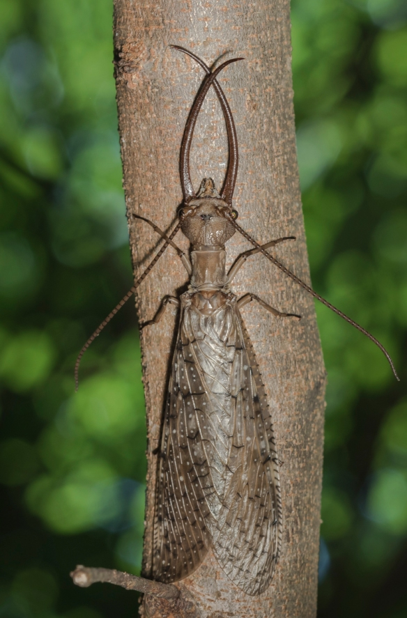 Dobsonfly male