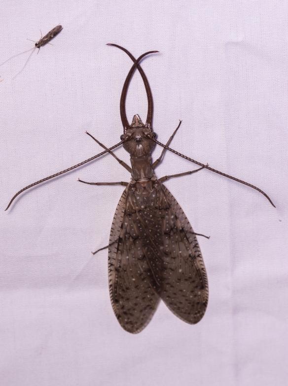 Dobsonfly on moth sheet