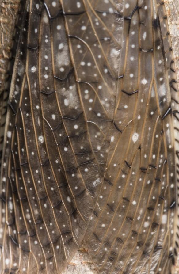 Dobsonfly wings