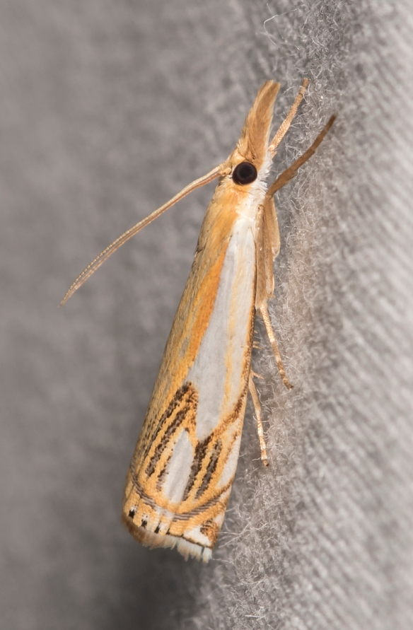 Double-banded Grass Veneer, Crambus agitatellus