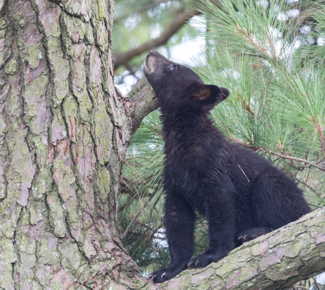 first cub looking up