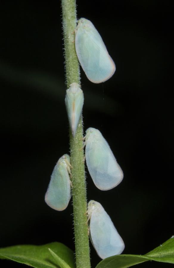 Flatid Planthoppers