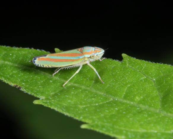 Graphocephala versuta leafhopper