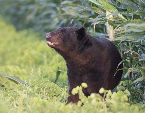 huge bear