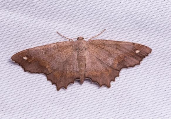 Hypagyrtis esther – Esther Moth