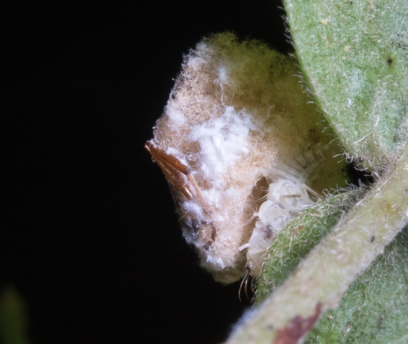 Lacewing larva close up showing underside