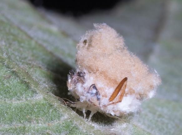Lacewing larva close up