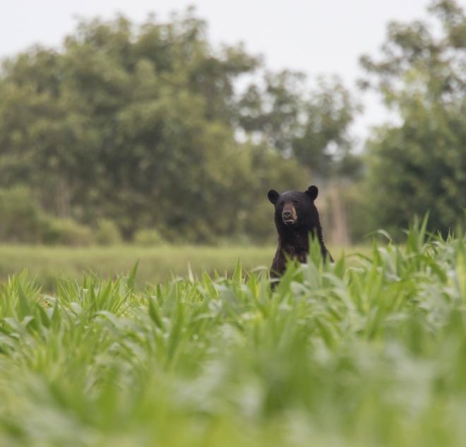 large bear standing in corn
