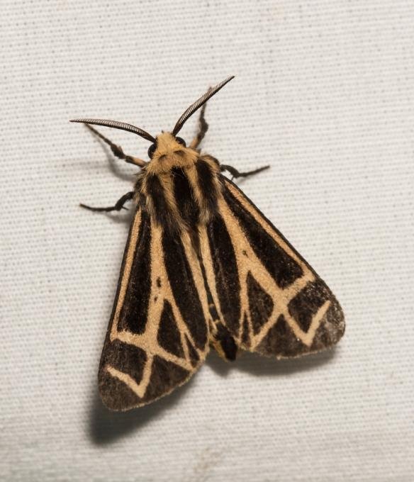Nais Tiger Moth - Apantesis nais ?
