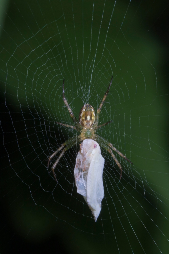 Orchard spider with prey