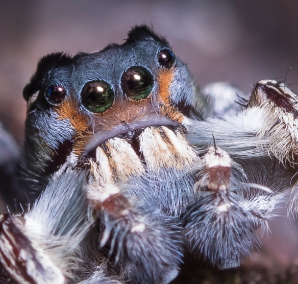 Phidippus putnami - close up of eyes
