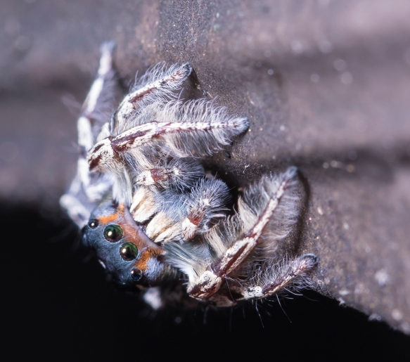 Phidippus putnami - Jumping Spider 1