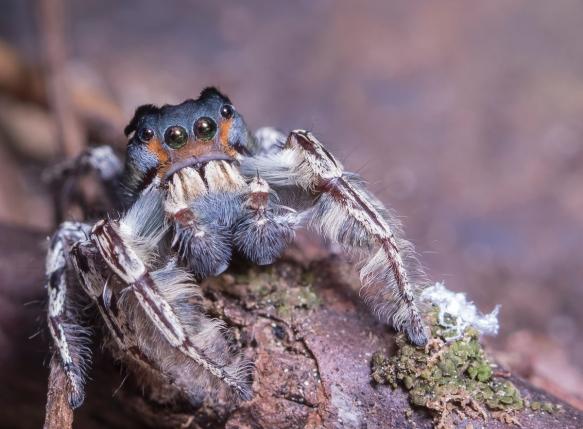 Phidippus putnami - Jumping Spider 2