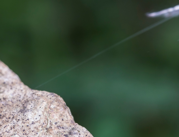 Phidippus putnami - Jumping Spider leaping