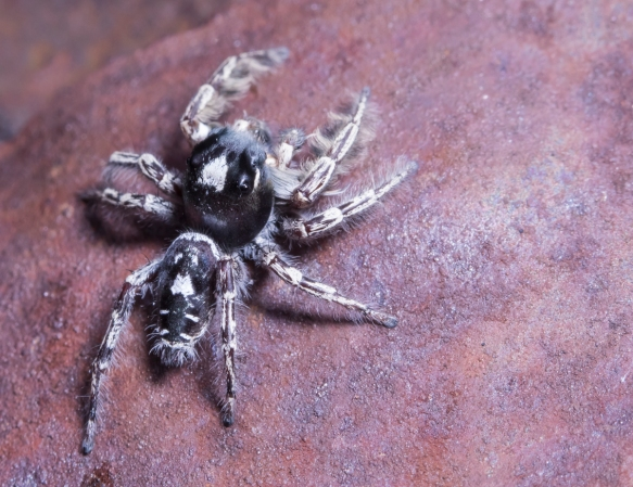 Phidippus putnami - Jumping Spider