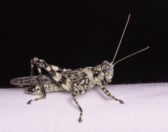 Pine Tree Spurthroat Grasshopper - Melanoplus punctulatus - male