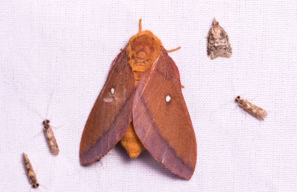 Pink-striped Oakworm Moth - Anisota virginiensis - female