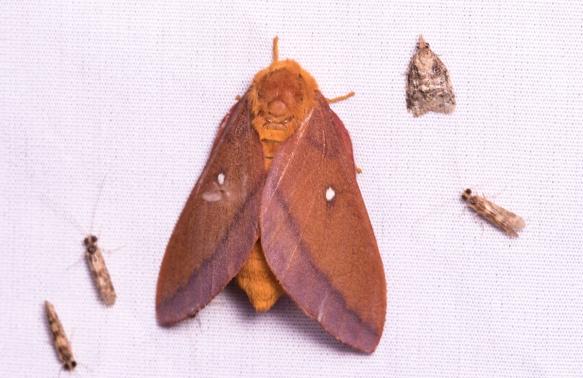 Pink-striped Oakworm Moth - Anisota virginiensis - female