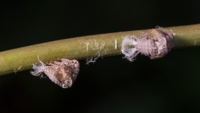 planthopper nymphs