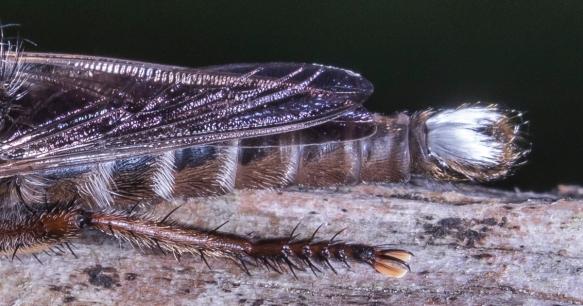 Promachus bastardii tail