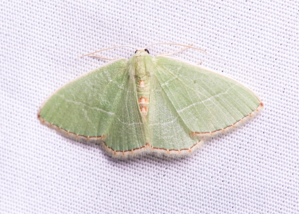 Red-fringed Emerald, Nemoria bistriaria