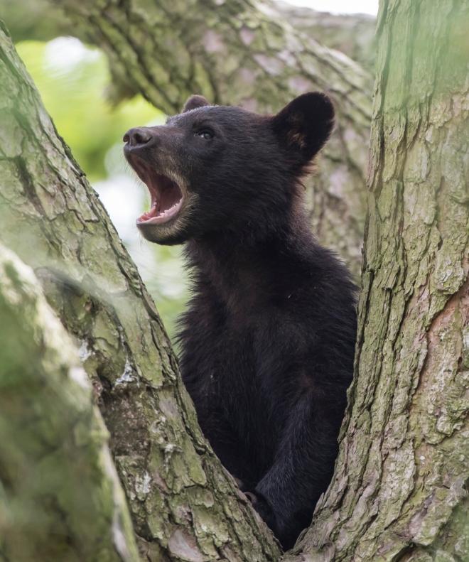 second cub yawning