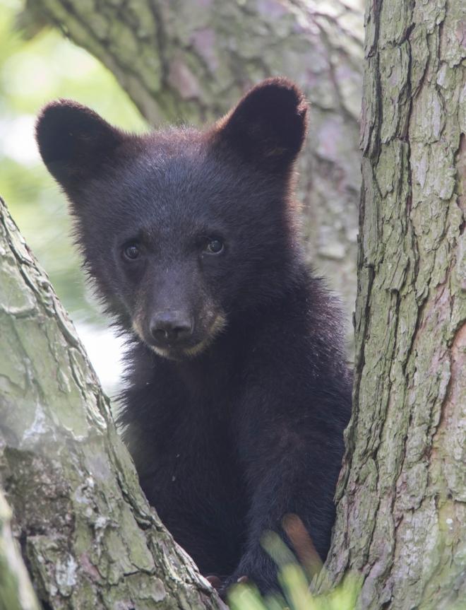 second cub