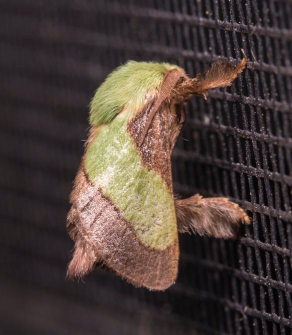 Smaller Parasa, Parasa chloris