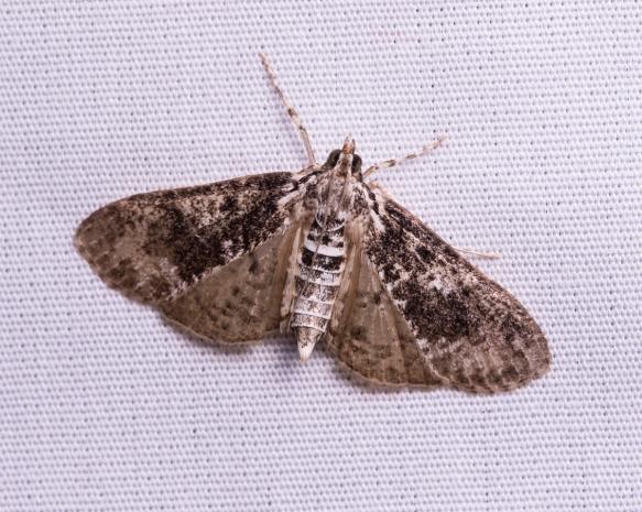 Splendid Palpita Moth - Palpita magniferalis ???