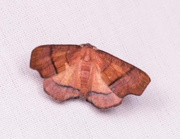 Straight-lined Plagodis Moth - Plagodis phlogosaria??