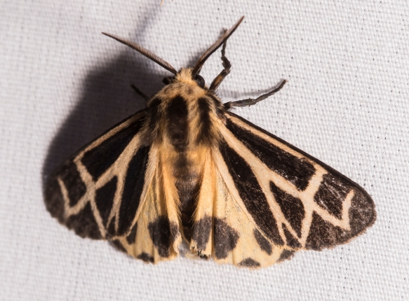 Tiger Moth - Apantesis sp.
