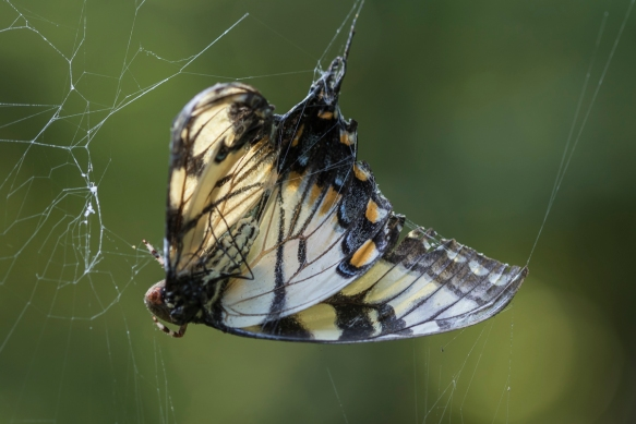 Tiger Swallowtail in spider web