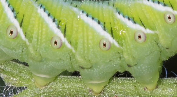 Tobacco Hornworm - Carolina Sphinx Moth larva