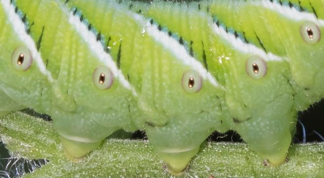 Tobacco Hornworm - Carolina Sphinx Moth larva