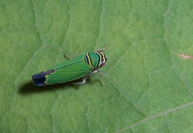Tylozygus geometricus leafhopper