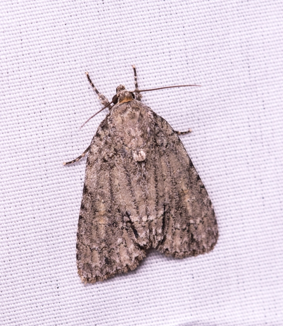 Unidentified - perhaps Genus Acronicta - Dagger Moths???