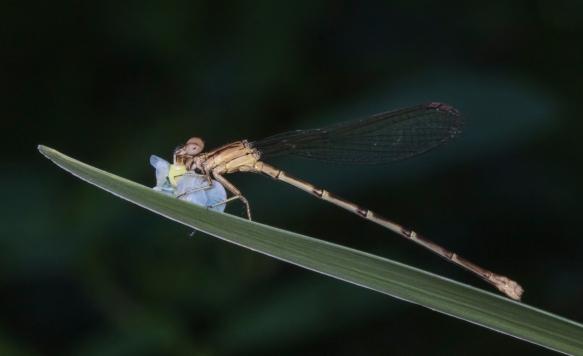 Variable Dancer Damselfly (female) eating Planthopper