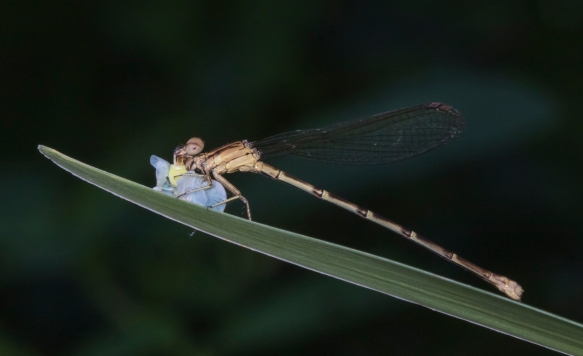Variable Dancer Damselfly (female) eating Planthopper