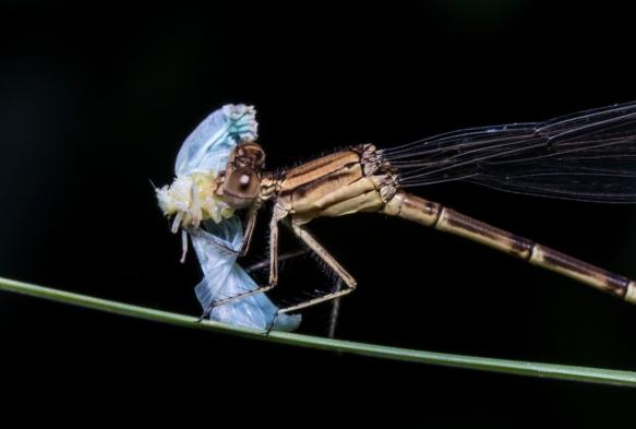 Variable Dancer eating planthopper 1