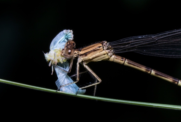 Variable Dancer eating planthopper 1