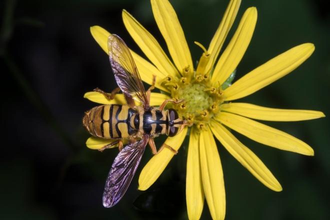 Virginia (or Yellowjacket) Hoverfly, Milesia virginiensis