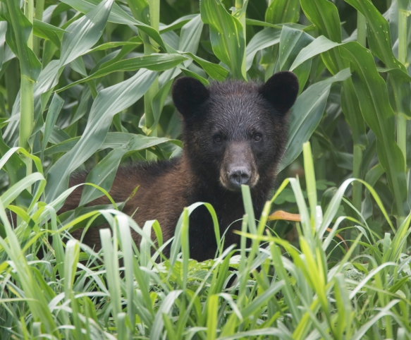 young bear in corn
