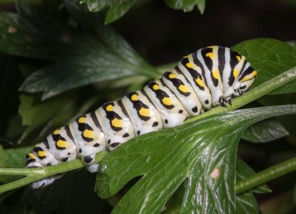 Black Swallowtail caterpillar last instar