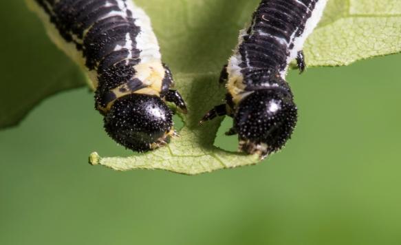 Catalpa Sphinx larvae heads