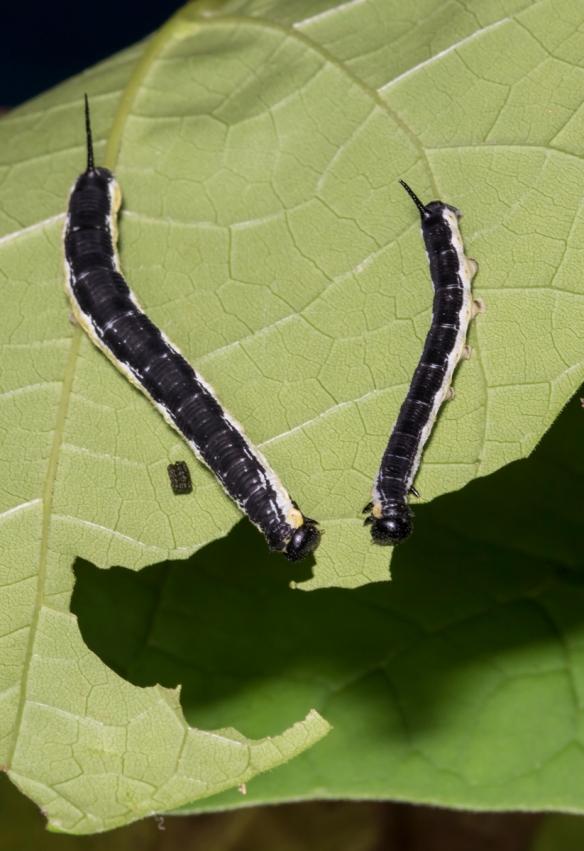 Catalpa Sphinx pair of larvae 1