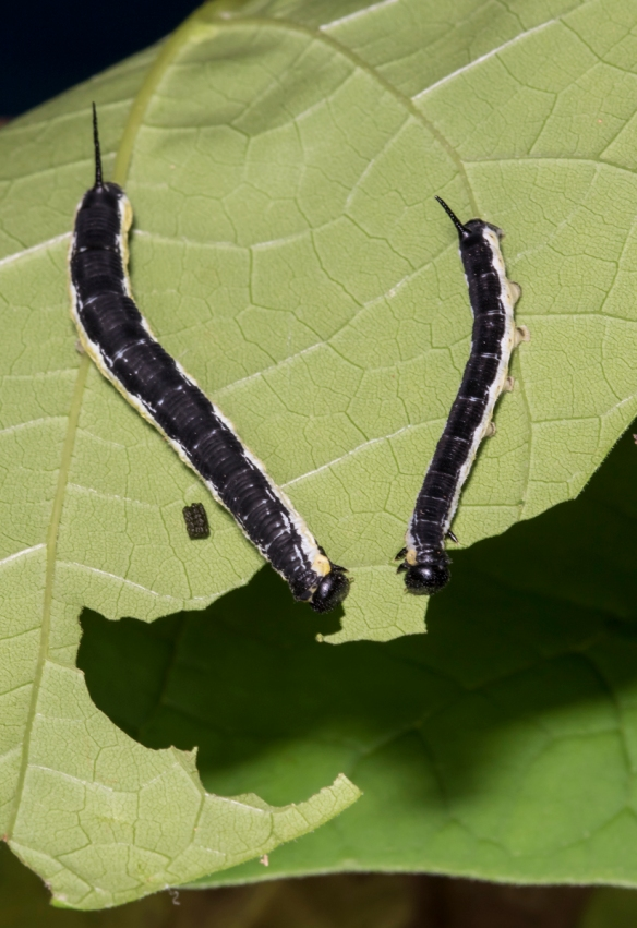 Catalpa Sphinx pair of larvae 1